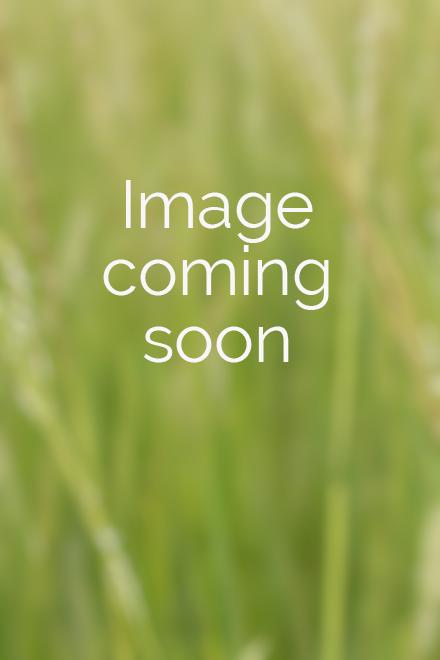 Clump of Iris cristata (dwarf crested iris)