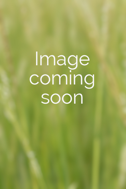 Flower of Trillium undulatum (painted trillium)