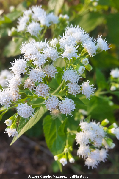 Izel Plants Ageratina Altissima White Snakeroot Izel Native Plants